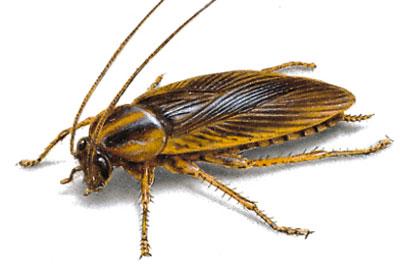 Cucarachas en Restaurantes control de plagas