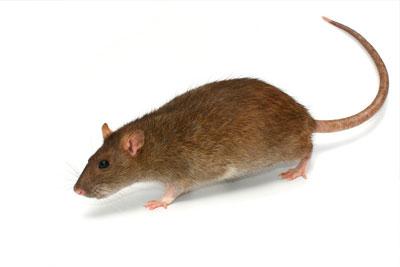Control de Plagas Ratas en Qro