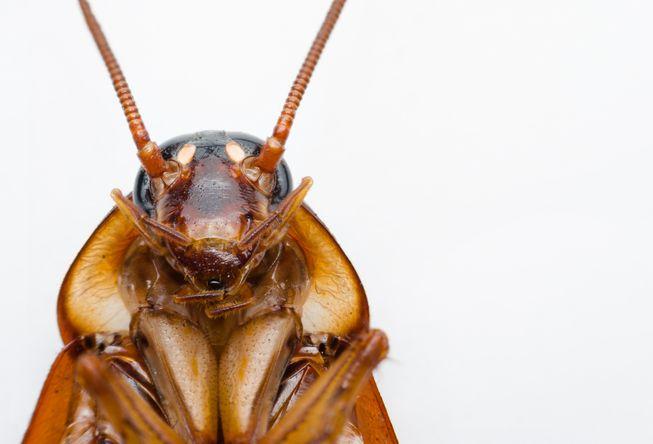 Cucarachas exterminar